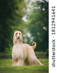 Fabulous Looking Afghan Hound ...