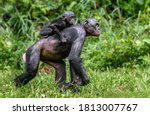 Bonobo Cub On The Mother\'s Bac...