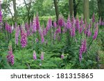 Foxgloves In A Woodland