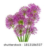 Garlic Flowers Isolated On...