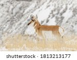 Pronghorn In Winter ...