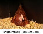 Laying Hen In Its Straw Nest...