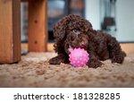 A Playful Miniature Poodle...