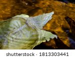 The Chinese softshell turtle (Pelodiscus sinensis)