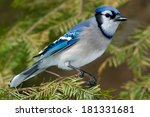 Blue Jay Perched On An...