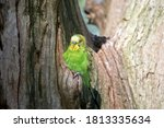 The Budgerigar Is A Small Gree...