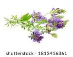 Alfalfa plant  medicago sativa  ...