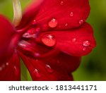 Drops Of Water In A Red Flower