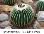 Echinocactus Grusonii  The...