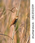 Small photo of Reed warbler, Acrocephalus scirpaceus, singing on reed
