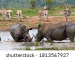 Two White Rhinos With Zebras In ...