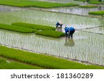 farmers transplant rice in a... | Shutterstock . vector #181360289