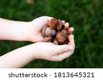 Child's hands with acorns  on a ...