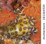 A Deadly Blue Ringed Octopus...