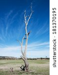Old And Dead Tree On A Dry...