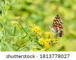 A Painted Lady Butterfly ...