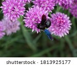 Large Black Bumblebee With Blue ...