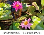 Nymphaea Colorata  With Purple...
