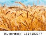 Bright Ripe Cereal Field  ...