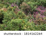 Close Up Of Gorse And Heather...
