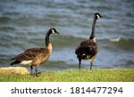 Two Canada Geese  Standing Near ...