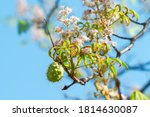 Conker From Horse Chestnut. In...