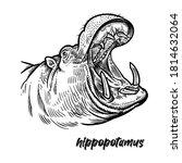Close Up Hippopotamus Head With ...