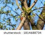 Great Woodpecker Sitting On A...