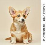 Adorable Cute Puppy Welsh Corgi ...