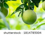 On The Grapefruit Tree  The...