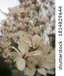 Magnolia Tree In A Quiet...
