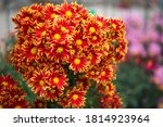 Yellow Red Chrysanthemums On A...