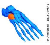 Human Skeleton System Foot Bone ...