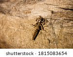 Insect Molting Tabanidae On...