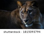 Berber Lioness Portrait In...
