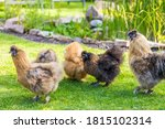 Silkie Hens And Rooster Lookin...