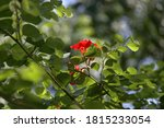 Red Flower Of Red Bauhinia Or...