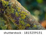Lichen On Bark Of Old Tree....