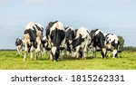 Cows Together Grazing In A...