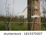 Close Up Of An Oxeye Daisy In...