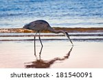 Great Blue Heron Searching For...