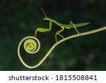 Praying Mantis In The Nature