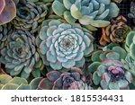 Echeveria Colorata Succulent...
