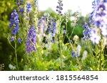 Blue Delphinium Flowers...