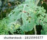 White Caterpillar That Eats...