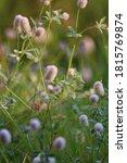 Trifolium Arvense Or Hare\'s...