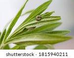 Tiny Monarch Caterpillars On...
