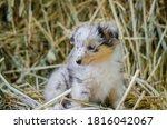 Cute Marble Dog Sheltie...
