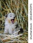 Cute Marble Yawn Dog Sheltie...