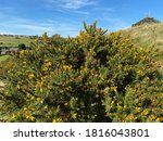 Yellow Gorse  High On The...